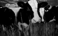 midwest, farm, farms, cows, dairy cows, pasture, black and white, infrared