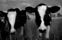 midwest, farm, farms, cows, dairy cows, pasture, black and white, infrared, fine art